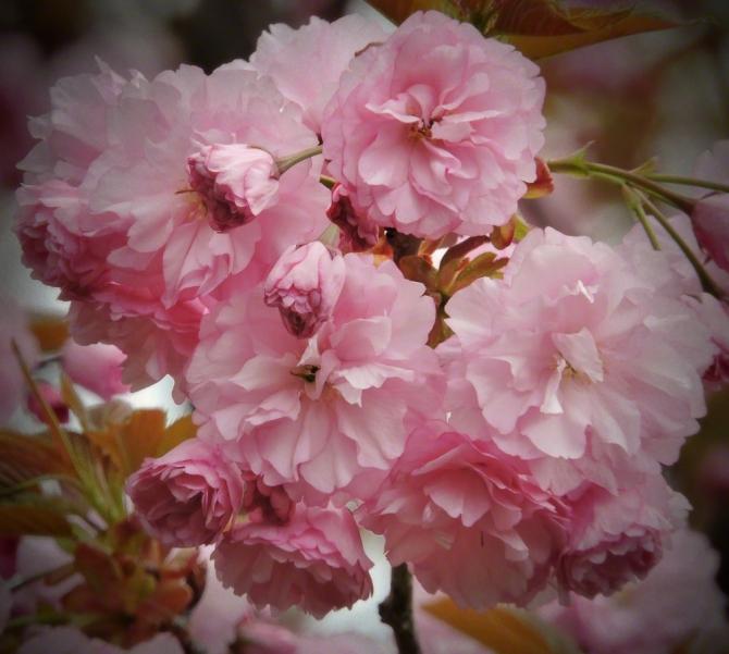 Crabapple Blossoms ©Jackie Brooks