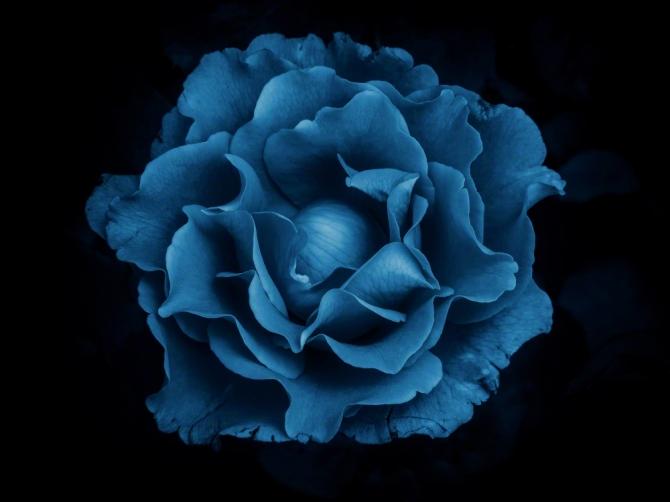 Blue Rose ©Jackie Brooks