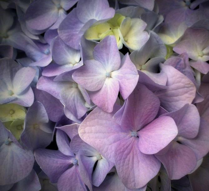 Hydrangea ©Jackie Brooks