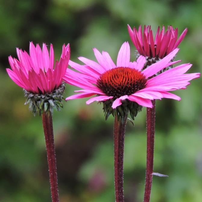 Echinacea ©Jackie Brooks