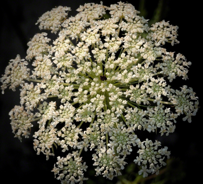Queen Anne's Lace ©Jackie Brooks