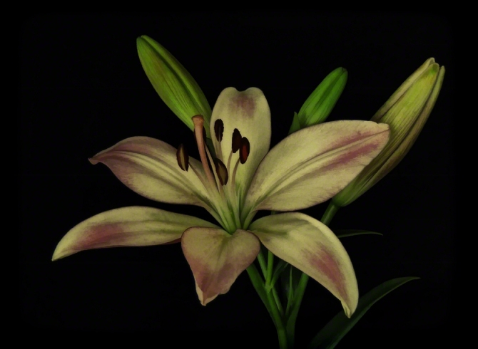 Vintage Lily ©Jackie Brooks
