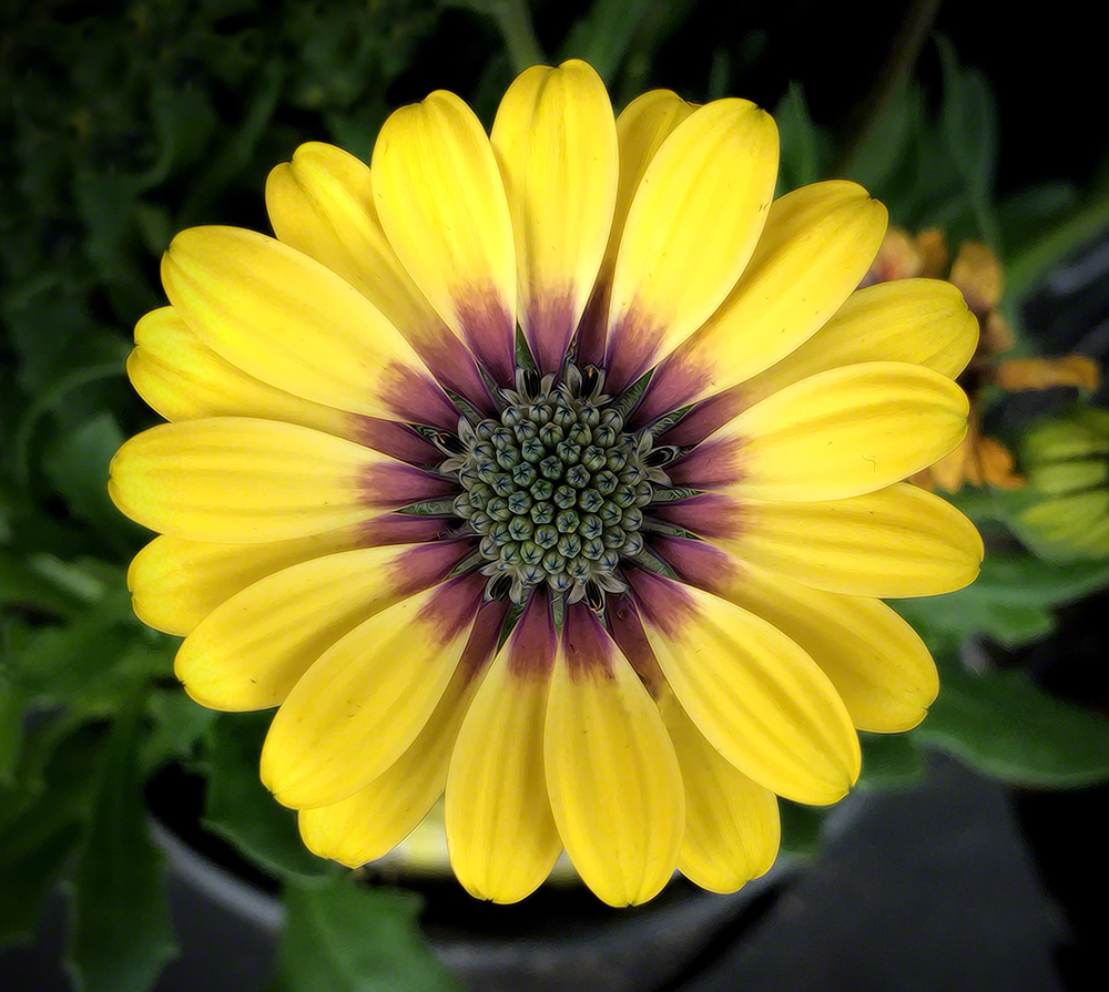 Day 263: African Daisy | A Year In Photos