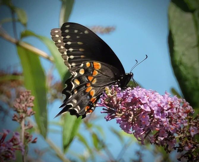 Black Swallowtail ©Jackie Brooks