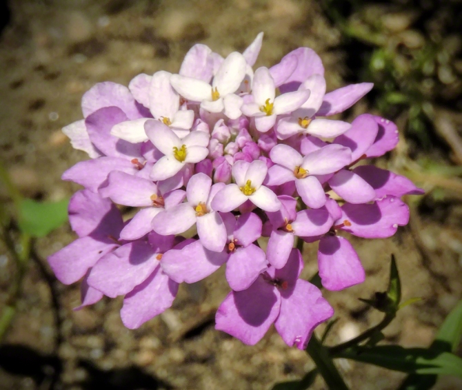 Sweet Alyssum ©Jackie Brooks