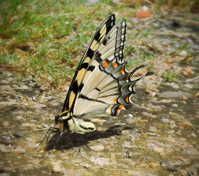Puddling Butterfly ©Jackie Brooks