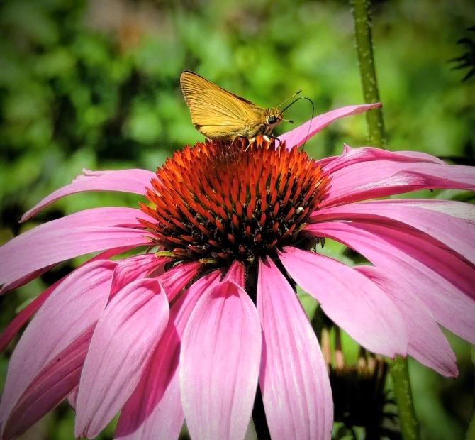 Skipper Butterfly ©Jackie Brooks