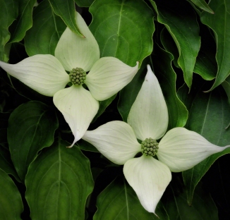 Kousa Dogwood Flowers ©Jackie Brooks